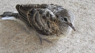 The Little Cute Baby Dove Bird