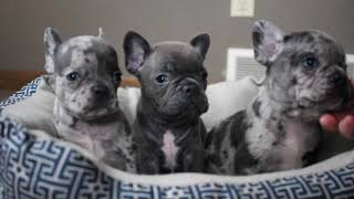 Frenchie Puppies   Zeus, Brighton, Bali!!