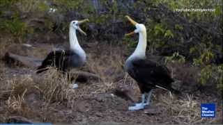 Albatross Birds Rare Mating Dance (Very Cute) [Galapagos Island]