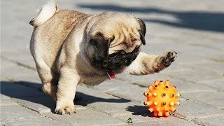Funny Cute Dogs Playing With Toys –  Dogs Funny Video