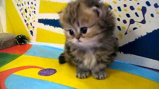 "Cute Persian kittens: the ""I"" Litter 1 of ? – 7.10.11"