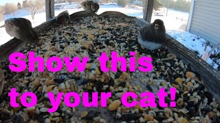 Cute Funny Birds for Cute Cats to Watch | Videos for Cats