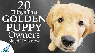 Golden Retriever Puppy First Week Home – Professional Dog Training Tips