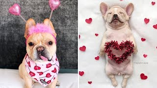 Funny French Bulldog Puppies 🐶 Cute Dogs and Cats Doing Funny Things #44 | Funny Cute Animals