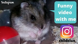 Wow! Funny hamsters by instagram childelun. With the comments of subscribers. #hamster #hamsterlover