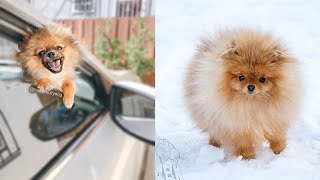 Cute Pomeranian Puppies Doing Funny Things | Cute and Funny Dogs