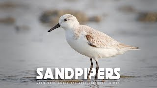 Have You Ever Noticed these Cute Shore Birds? – Sandpipers | Scolopacidae