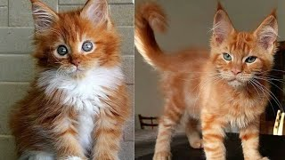 Adorable Animal – Cute and funny Maine Coon Cats Video Compilation #23-Animal World
