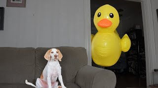 Dog vs Giant Rubber Ducky Prank: Funny Dog Maymo