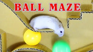 Three Cute Hamsters Happy To Run In Our DIY Ball Maze