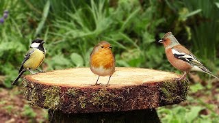 Bird Sounds and Videos for Cats and People – Birds at The Forest Table