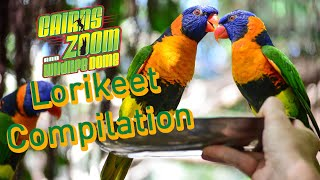 Lorikeet Compilation | Cute Bird Video | Cairns ZOOM and Wildlife Dome