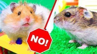 Never put two adult hamsters in one cage! Hamsters quarrel!