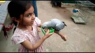 Cute Child's playing with cute African Congo grey parrot Koharians pet birds loralai