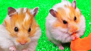 Collection of videos with hamsters! The best pet videos!