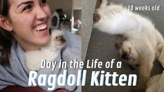 What It's REALLY like to Own a RAGDOLL KITTEN! (Day in the Life) Ep. 1
