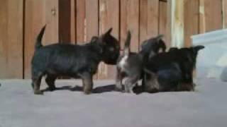 Chorkie Puppies 4 weeks 3 days old