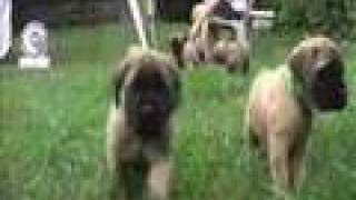 Mastiff Puppies – 6 weeks old