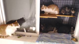 Tiny Kittens Raccoon on catio somewhere near ferals scare the ferals 8 28 2018