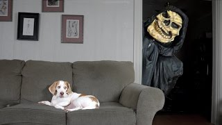 Dog Not Scared of Grim Reaper: Funny Dog Maymo