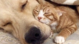 Super Sweet Golden Retriever & Ginger Kitten Will Melt Even the Hardest Heart