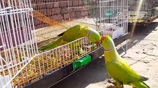 Cute Talkative Parrots Speaking And Dancing So Lovely