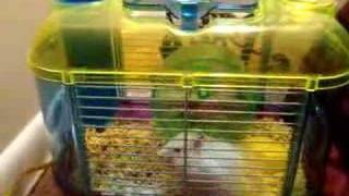 Funny Hamster Trying to Escape from the Cage