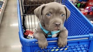 Funniest & Cutest Pitbull Puppies – Funny Puppy Videos 2020