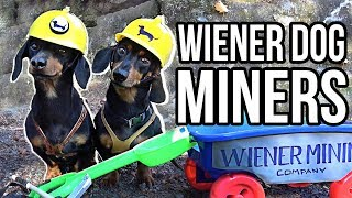WIENER DOG MINERS! – Cute Dachshunds Digging for Squeaky Balls!