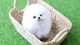 Cute Pomeranian Puppies Doing Funny Things #4 | Cute and Funny Dogs