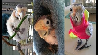 Fefe The Plucking Cute Cockatoo | CUTE AS FLUFF