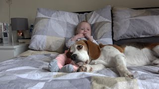 Will our Dogs Fall Asleep on Baby? | Cute Difference Between Male and Female Beagles!