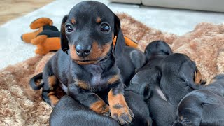 Snuggling dachshund puppies.