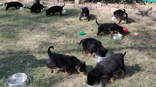 Rottweiler  Cutest Puppies of All time | Puppy  Food | 9896504757 /9053119990/ Doggyz World