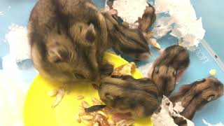 Funny hamsters  they are already 11 days old