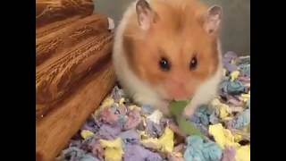 Cute and Funny Hamsters Videos 2019 🐹 DienMsm #44