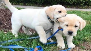 Funniest & Cutest Golden Retriever Puppies #27 – Funny Puppy Videos 2019