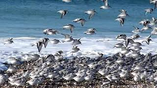 Funny Birds  ( Sanderlings – Sandpipers on the beach )  Very funny birds