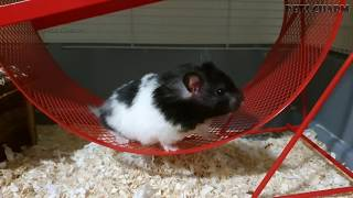 Cute hamster`s running in the wheel 🐾