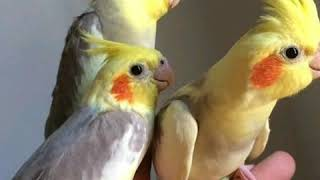 Cockatiel Talking and Singing Cockatiels in the World / Funny Birds / 2019 # 3