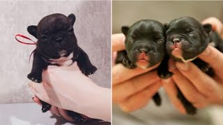 Cute French Bulldog Puppies – Best Funny French Bulldog Compilation  – Dogs Awesome