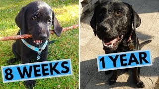 Black Labrador Puppy 8 Weeks to 1 Year – From Puppy to Dog
