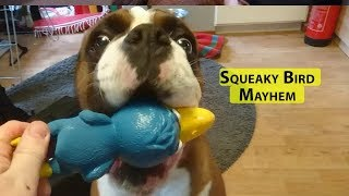 Boxer Rex's Squeaky Bird Mayhem. Cute Growling And Crazy Behavior