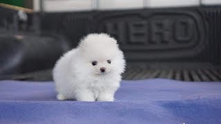 Cute Pomeranian Teacup Puppies Compilation