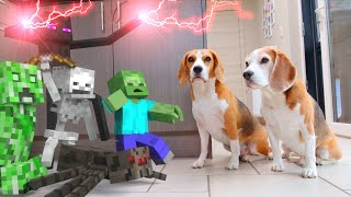 MINECRAFT in REAL LIFE vs Funny Dogs Louie & Marie : ZOMBIES!!