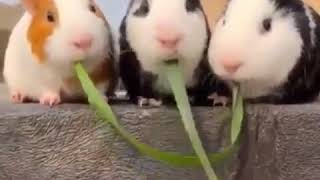 Cute Hamsters Eating Grass