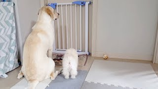 Here are cute dogs ♥ baby Pomeranian and Retriever