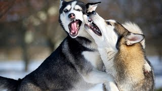 Funny Husky Dogs Moments Compilation #2 – Cute Dogs Video