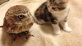 Cute Kitten Plays With Small Owl Bird