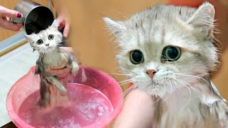 First bath for British kitten 🧼🛁